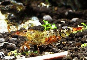 """Картинки по запросу Caridina cf. cantonensis """"Orange Bee"""