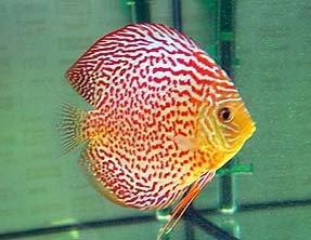 Для большей части аквариумных рыб характерны яркая декоративная окраска, причудливые формы тела и небольшие размеры.
