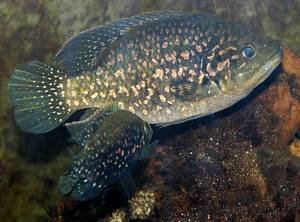 Разведение аквариумных рыбок, таких как Звездчатая