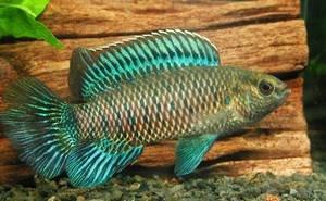 Разведение аквариумных рыбок, таких как Окунь синий (рыба-хамелеон) семейства Бадиевые